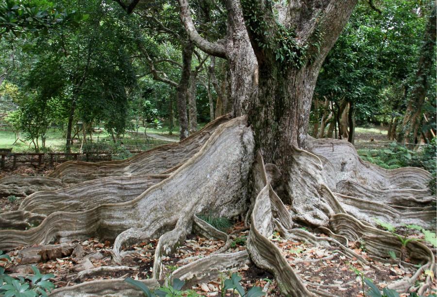 绿源百科 | 银叶树